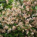 可愛らしいピンク花の香りテイカカズラ
