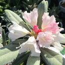 【ツツジ属】西洋石楠花サフロンクイーン4.5号ポット
