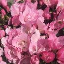 コンパクトな草姿に大輪の花を一杯咲かせるアザレア