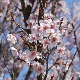【サクラ属】高性桜啓翁桜(けいおう)3.5号ポット接木苗