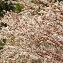 ユキヤナギピンク花イメージ