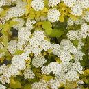 草丈の低い黄金葉のコデマリゴールドファウンテン
