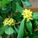 甘い香りのする黄色い沈丁花