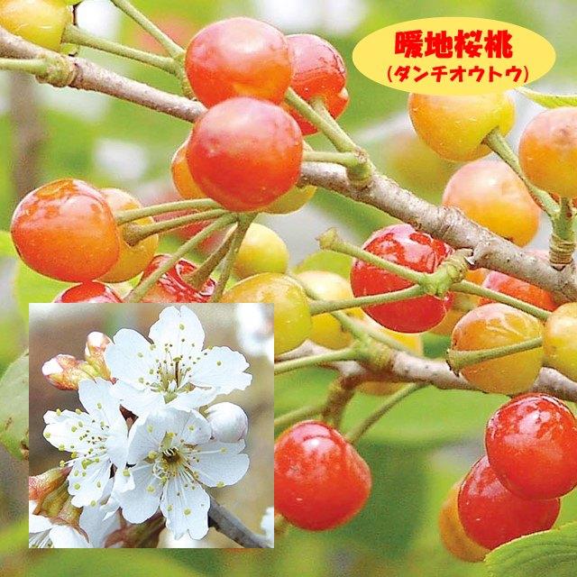 【サクラ属】さくらんぼ 暖地桜桃(二年生接木苗)4号LLポット