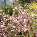 【サクラ属】庭桜ピンク八重咲き 3号ポット