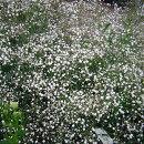 切花の定番宿根かすみ草