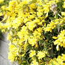 鮮やかなイエローの花から甘い香りカロライナジャスミン一重咲き