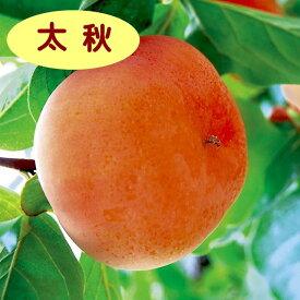 【カキノキ属】甘柿 太秋(二年生接木苗)4号LLポット
