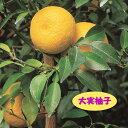 【高酸柑橘系ミカン属】大実柚子(ほんゆず)(接木苗)4号LLポット
