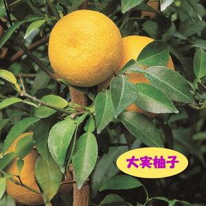 【香酸柑橘系ミカン属】大実柚子(ほんゆず)(接木苗)4号LLポット