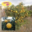 【高酸柑橘系ミカン属】とげなし柚子(接木苗)4号LLポット