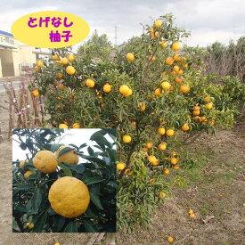 【香酸柑橘系ミカン属】とげなし柚子(接木苗)4号LLポット