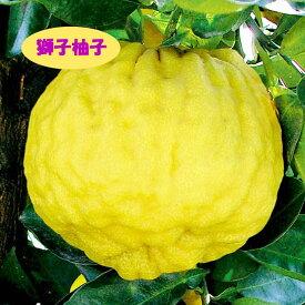 【香酸柑橘系ミカン属】獅子柚子(接木苗)4号LLポット