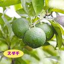 【高酸柑橘系ミカン属】スダチ(接木苗)4号LLポット