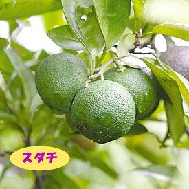 【香酸柑橘系ミカン属】スダチ(接木苗)4号LLポット
