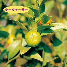 【香酸柑橘系ミカン属】シークァーサー(接木苗)4号LLポット