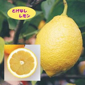 【香酸柑橘系ミカン属】とげなしレモン(接木苗)4号LLポット