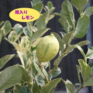 【香酸柑橘系ミカン属】斑入りレモン(接木苗)4号LLポット