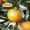 【ミカン属】宮内伊予柑 (二年生接木苗)4号LLポット
