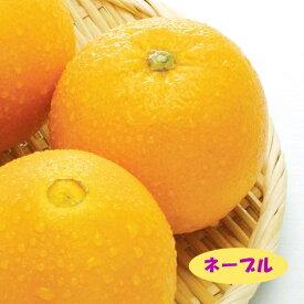【ミカン属】ネーブル (二年生接木苗)4号LLポット