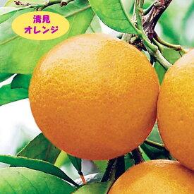 【その他柑橘系ミカン属】清見オレンジ(接木苗)4号LLポット
