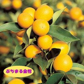 【その他柑橘系ミカン属】ぷちまる金柑(接木苗)4号LLポット