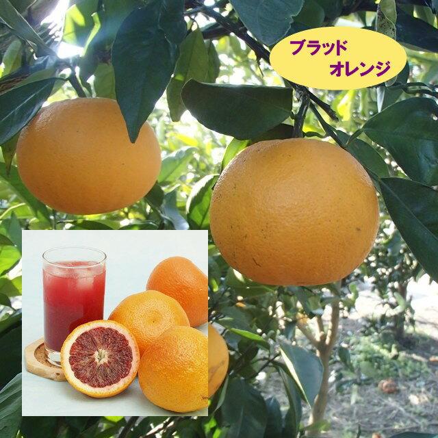 【ミカン属】ブラッドオレンジモロー(二年生接木苗)4号LLポット