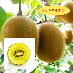 【アクチニディア属】キウイ(メス木)ジャンボイエロー(接木)4号LLポット