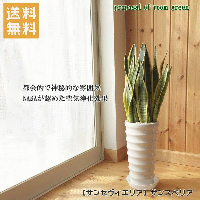 送料無料!観葉植物【サンセヴィエリア属】サンスベリア丸陶器6号鉢