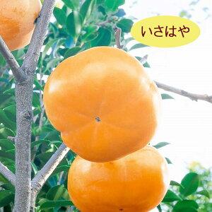 【カキノキ属】(甘柿)いさはや(接木苗)4号LLポット