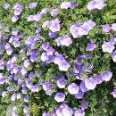 アサガオににた可愛らしい花を無数うに咲かせるコンボルブルス
