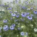 涼しげなブルー系な花を咲かせます