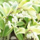 スズランに似た可愛らしい花の斑入りナルコユリ