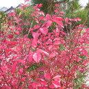 鮮やかな紅葉のニシキギコンパクタ