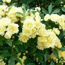 可愛らしい八重咲きッコッコウバラ