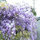 見事な花穂と春の香りの藤