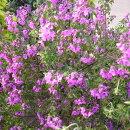 パープルの花色が鮮やかなミントブッシュ
