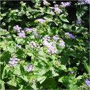おしとやかな青い花はお庭の脇役に