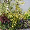 葉色と草姿が魅力的なコニファー