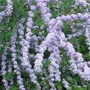 鈴なりに咲くブットレア