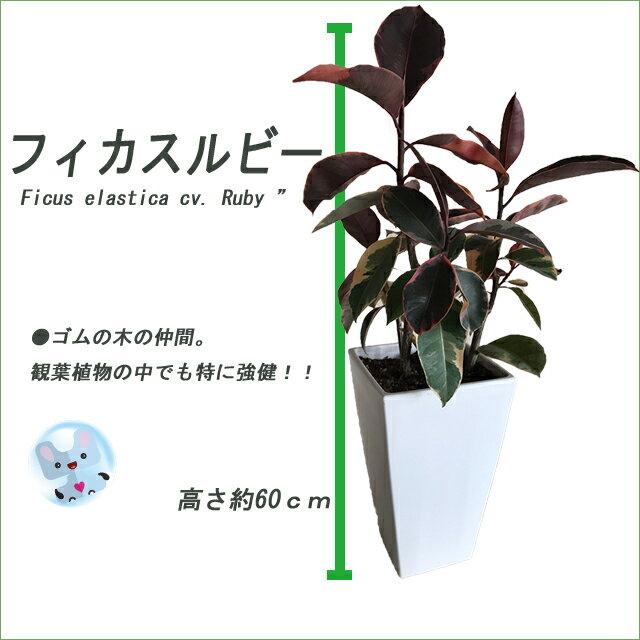 【鉢物】【フィカス属】希少品種 フィカス ルビー