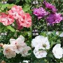 八重咲きの可愛らしいムクゲ