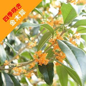 【モクセイ属】四季咲き金木犀(キンモクセイ)オレンジ花 5号ポット