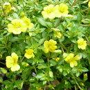 黄色の小花が可愛らしいメカルドニア