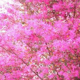 【マンサク属】銅葉トキワマンサク紅花 3.5号ポット