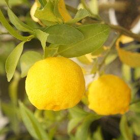 数量限定【香酸柑橘系ミカン属】花柚子(接木苗)4号LLポット
