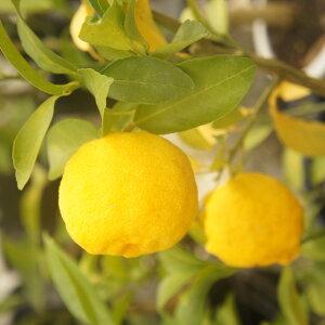 【香酸柑橘系ミカン属】花柚子(接木苗)4号LLポット