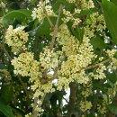 白い香りのする花を春と秋、二回咲かせる銀木犀