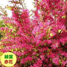 【マンサク属】緑葉トキワマンサク紅花 3.5号ポット