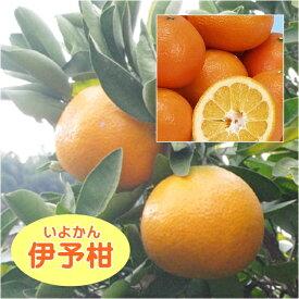 【その他柑橘系ミカン属】伊予柑 イヨカン(接木苗)4号LLポット